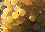 Labes vin, vin blanc, vin rosé